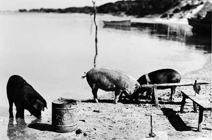 Hogs grazing at Brown's Island, 1938.