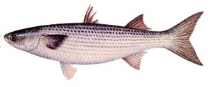 Striped mullet or jumping mullet