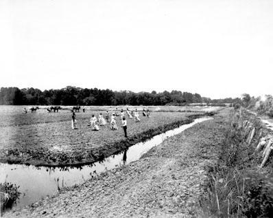 Planting rice at James Sprunt's Orton Plantation, ca. 1890.