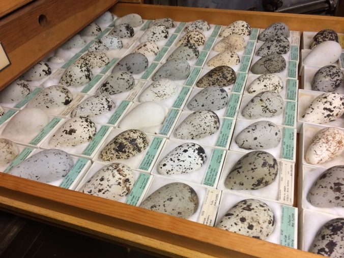 A shelf of bird eggs in the oological collection, Field Museum of Natural History