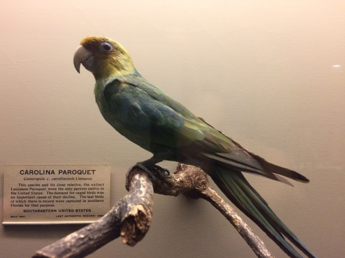 In the Field Museum's bird exhibit hall, we found a Carolina Parakeet, the first we had ever seen. Once ranging from southern New York to the Gulf of Mexico, this lovely bird was the only parakeet species native to the eastern U.S. Large flocks could once be seen in the old growth forests along eastern N.C.'s rivers. The last known wild specimen perished in 1904, the last in captivity in 1918.