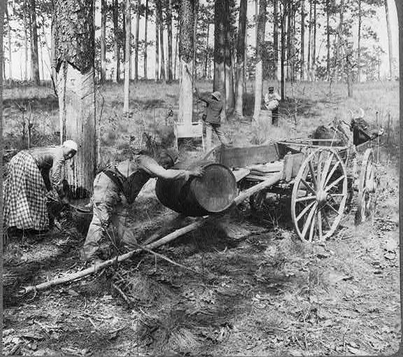 Turpentining in North Carolina, probably in the late 19th century. Courtesy, Library of Congress