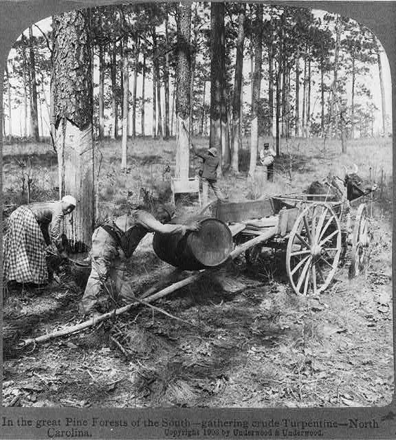 Harvesting crude turpentine in N.C., probably in the Sand Hills ca. 1900.