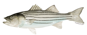 Atlantic striped bass (rockfish). Courtesy, NOAA
