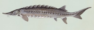 Atlantic sturgeon. From the U.S. Fish & Wildlife Service's Digital Library