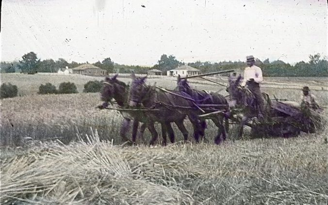 Harvesting wheat, Meadowville, Va. Commander Albert Ross took the photograph while heading up the James River toward the northern end of the Albemarle & Chesapeake Canal in 1901. Courtesy, Linda Garey