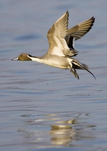 Northern pintail taking flight at the Pine Island Sanctuary on Currituck Sound.Photo by Mark Buckler. Courtesy, N.C. Audubon Society