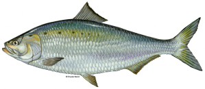 The American shad (Aloso sapidissima). Courtesy, U.S. Fish & Wildlife Service