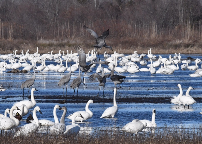 Sandhill cranes among the tundra swans. Photo by Tom Earnhardt and used with his permission.