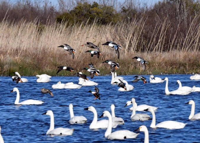 Northern shovelers (mostly) among the tundra swans. Photo by Tom Earnhardt and used with his permission.