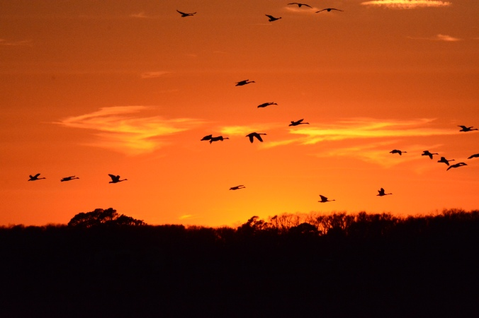 Tundra swans over Pungo Lake. Photo by Tom Earnhardt and used with is permission.