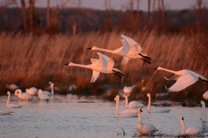 Tundra swans at sunrise, Pungo Lake. Photo by Tom Earnhardt and used with his permission.