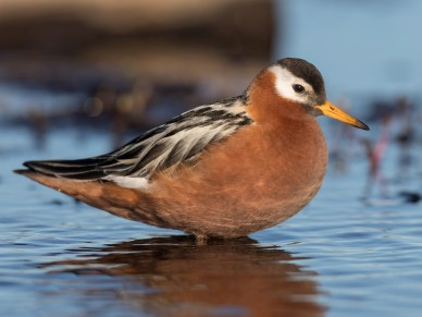 Red phalarope (Phalaropus fulicarious), a breeding female. Photo by Ian Davis. Courtesy, ebird