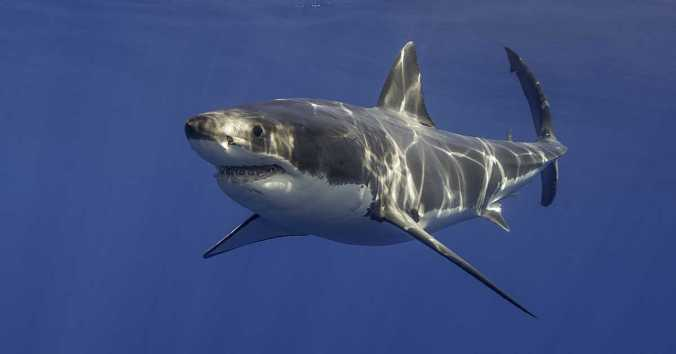 Great white sharks (Carcharodon carcharias) are typically 11-13 ft. long (males) and 15-16 ft. long (females), but have been seen as long as 20 feet and 5,000 lbs. They can swim in short bursts as fast as 16 mph and dive to depths of nearly 4,000 ft. Photo by Michael Valos/Dreamstime