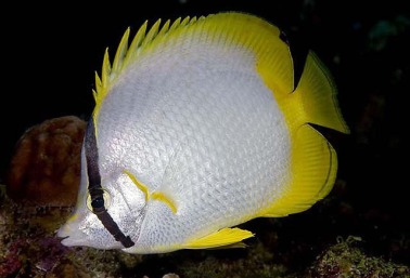 The lovely little spot fin butterfly fish (Chaetodon ocellatus) is a reef dweller in the Caribbean but many get washed up to the North Carolina in the Gulf Stream from July to Oct. Courtesy, Smithsonian Tropical Research Institute