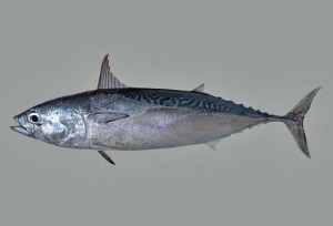 Frigate tuna or frigate mackerel (Auxis thazard) are an important part of the food web in all the world's oceans. Courtesy, Smithsonian Tropical Research Institute