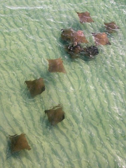 Seen here in the Gulf of Mexico, cow nose rays are the rays that you're most like to see in an aquarium's touch tank. They're only 2-3 ft. in width and weigh approx. 25-35 lbs. They largely eat clams, oysters and other bivalves and are known for their long migrations-- in the late fall, these cow nose rays probably migrate to the waters off South America. Photo by Dorothy Birch