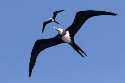 Ascension frigatebirds (Fregata aquila) in flight. Photo by Noah Strycker. Courtesy, ebird.