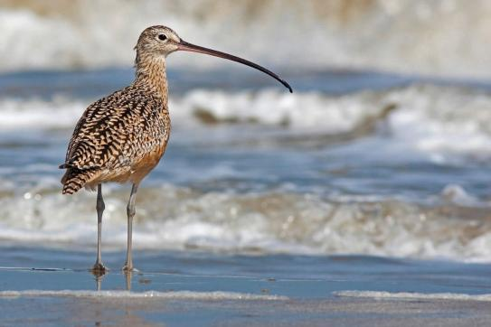 Long-billed curlew (Numenius americanus). Photo by Stephen Pollard. Courtesy, the Audubon Society