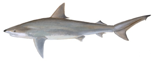 The blacknose shark (Carcharhinus acronotus) is a small (usually about 4 ft. long), fast-swimming predator that ranges from the coastal waters of North Carolina to Brazil. Courtesy, Delaware Div. of Fish & Wildlife