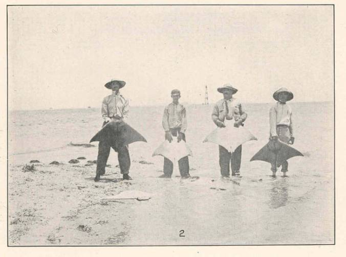 Russell Coles (2nd from right) & 3 companions with lesser devil rays (Mobula hypostoma) and Cape Lookout Lighthouse in the distance, July 10, 1913. Photo by Francis Harper. From Lewis Radcliffe, Sharks and Rays of Beaufort, N.C. (Washington, DC: GPO, 1916).