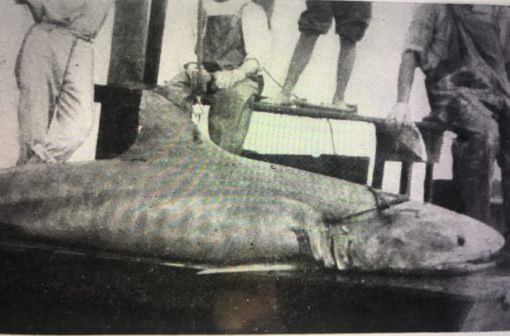 "A tiger shark (Galeocerdo tigrinus) and Coles' crew probably at the Ocean Leather Co.'s wharf on Bogue Sound, summer 1918. From Russell J. Coles, ""The Large Sharks of Cape Lookout,"" Copeia No. 69 (1919)."