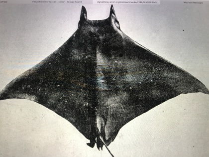 """A cast of a lesser devil ray (Mobula hypostoma) that Russell Coles captured at Cape Lookout ca. 1915 and in the collections at the American Museum of American History. From Russell J. Coles, """"Natural History Notes on the Devil Fish, Manta Birostris, and Mobula Olfersi,"""" Bulletin of the American Museum of Natural History vol. 35, article 33 (1916)."""