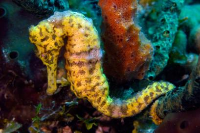 The long snout seahorse (Hippocampus reidi) is one of the largest seahorses in the Western Atlantic, reaching lengths of 7 inches at times. Photo courtesy, Oceana