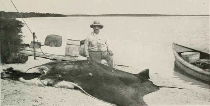 Russell Coles and a giant oceanic manta ray near Punta Gorda, Fl. From The American Museum Journal (American Museum of Natural History, 1916)
