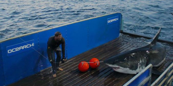 "Scientists at OCEARCH put an digital tag on a 16-ft.-long, 3,500 great white that they named ""Mary Lee"" off Cape Cod in 2012. Now you can see on the group's web site when she's visiting the North Carolina coast. Mary Lee also has her own facebook page. Photo courtesy, OCEARCH"