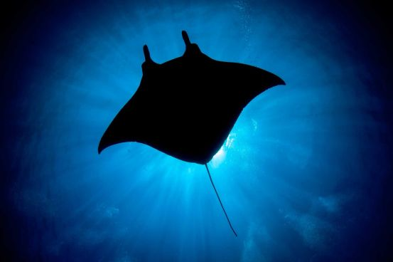 Giant oceanic manta ray in waters off Okinawa, Japan. Photograph by Jared Wood. From naturesbestphotography.asia