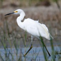 Market hunters were especially interested in snowy egrets (Egretta thula). Their feathers were especially popular for women's hats. Hunted nearly to extinction in the late 1800s and early 1900s, they are still a species of special concern. Courtesy, Cape Lookout National Seashore