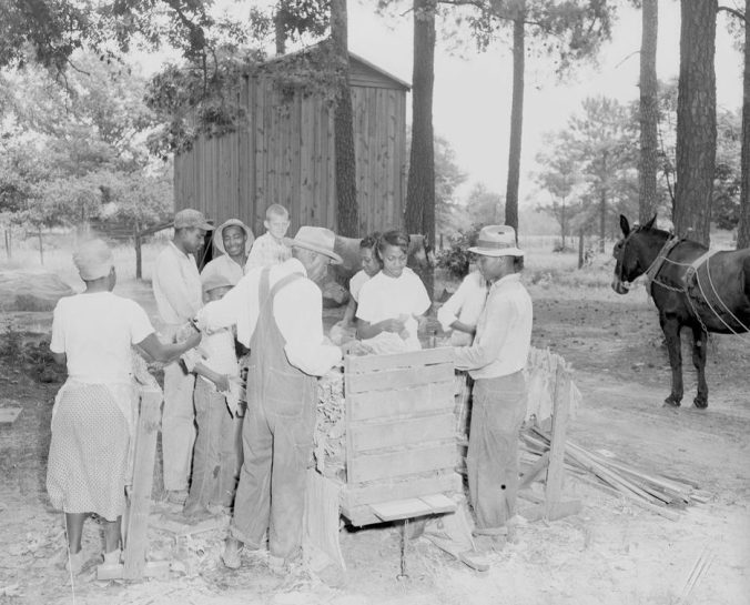 Looping tobacco to get it ready for curing, 1954. Courtesy, Joyner Library, ECU