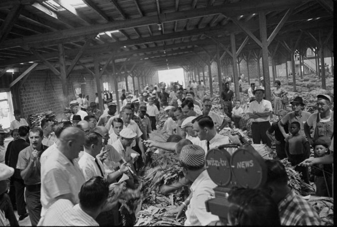 An opening day at the tobacco market, date unknown. A TV crew is taping an auctioneer's chant as he moves down a row of tobacco taking bids. Courtesy, Joyner Library, ECU