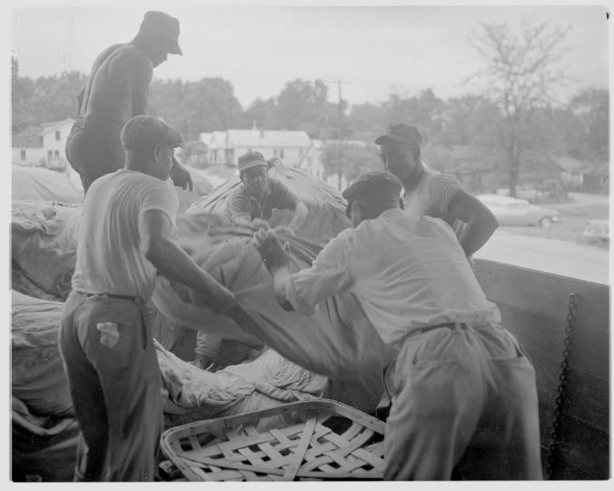 Unloading tobacco bundles, 1958. Courtesy, Joyner Library, ECU.
