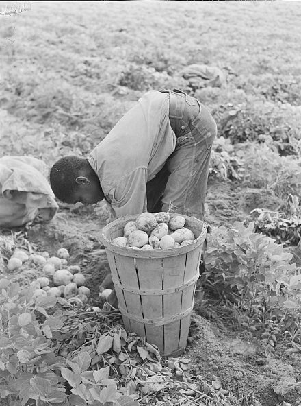 A young migrant laborer picking potatoes at T. C. Sawyer's farm in Belcross, N.C., 1940. Photo by Jack Delano. Courtesy, Library of Congress
