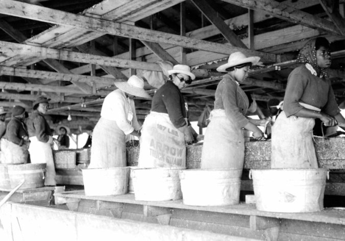 Women gutting and heading at either the Perry-Belch or Cannons Ferry herring fishery, Colerain, N.C., ca. 1937-41. Photo by Charles A. Farrell. Courtesy, State Archives of North Carolina