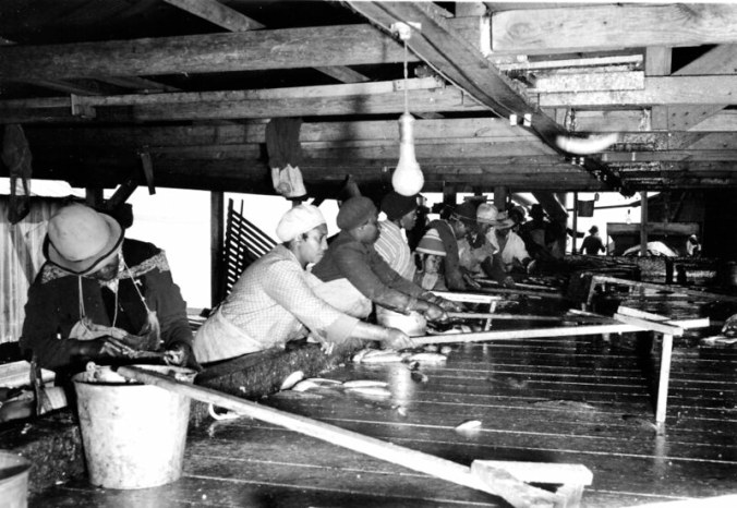 Perry-Belch fishery, Colerain, N.C., ca. 1937-41. The women used the long handled tools to pull the herring toward them. Photo by Charles A. Farrell. Courtesy, State Archives of North Carolina
