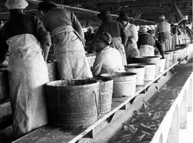 Gutting and heading herring, probably at the Perry-Belch fish co. in Colerain, N.C., ca. 1937-39. Photo by Charles A. Farrell. Courtesy, State Archives of North Carolina