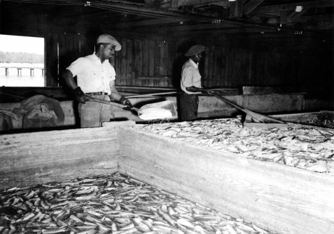 Two men salting herring at the Perry-Belch company, Colerain, N.C., ca. 1937-41. Photo by Charles A. Farrell. Courtesy, State Archives of North Carolina