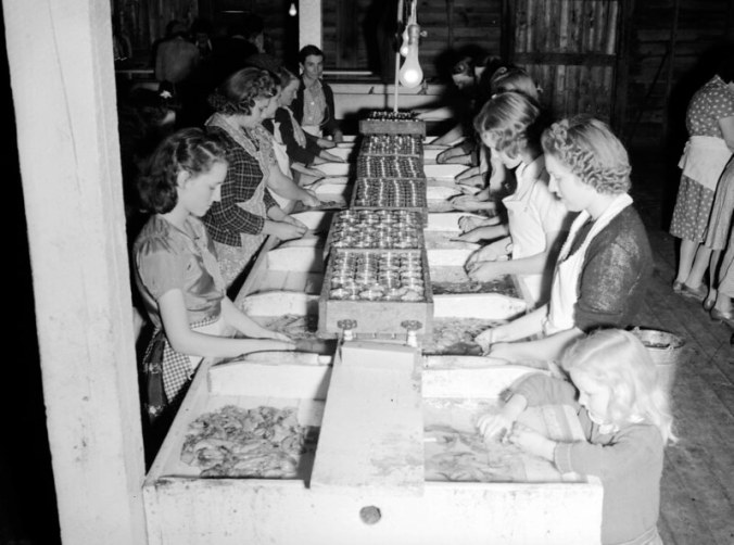 The roe canning room at Perry-Belch, Colerain, N.C., ca. 1937-41. Like everything else in those days, the jobs at a herring fishery was meticulously divided by race. Photo by Charles A. Farrell. Courtesy, State Archives of North Carolina