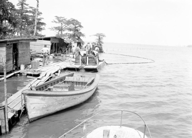 Terrapin Point Fishery, Merry Hill (Bertie Co.), N.C., May 5, 1941. The fishery was first established by the Winston family before the Civil War. You can see the fishermen laying out a small haul seine on the far side of the dock. Photo by Charles A. Farrell. Courtesy, State Archives of North Carolina