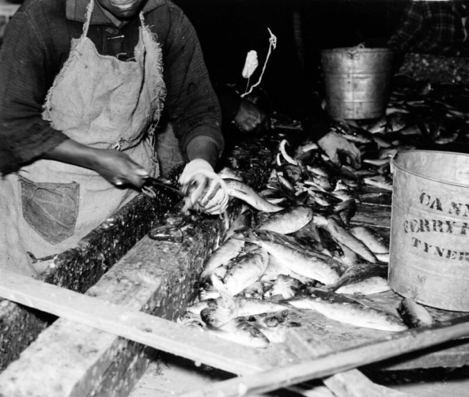 "Up-close look at gutting a herring. This woman's bucket is marked ""Cannons Ferry Fish Co., Tyner, N.C.,"" which was on the east side of the Chowan, but I'm not sure that this wasn't Perry-Belch on the west side of the river. Photo by Charles A. Farrell. Courtesy, State Archives of North Carolina"