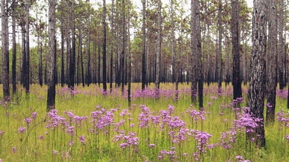 A longleaf pine glade in the Croatan National Forest, Craven County, N.C. Longleaf pines once formed the largest forests in the southern states and were the basis of the turpentine and tar industry. Native tribes used the bark, straw and sap in a host of different ways, including as a medicine. Photo courtesy, David McAdoo, Creative Commons