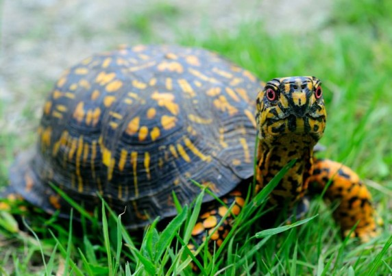One of Dr. Linwood Watson's blog posts on the NC Native Ethnobotany Project's website focuses on a Haliwa-Saponi elder's insights on eastern box turtles (Terrapene carolina carolina) and their role in seed dispersal. Photo courtesy, NC Native Ethnobotany Project